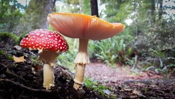 Two wild mushrooms growing in a beautiful in a wet forest.