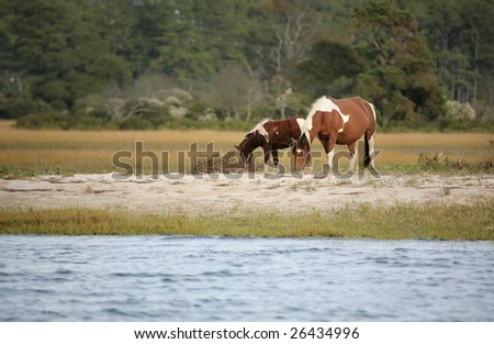 two wild ponies from the Virginia herd at Assateague National Park grazing near the water edge