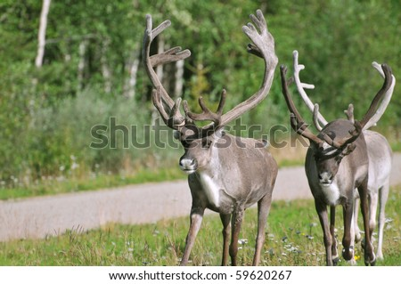 Two wild reindeer approaching on a roadside in Lapland, Scandinavia