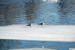 Two wild seagulls sitting on an ice floe floating in cold blue open water in bright sunny spring day horizontal view