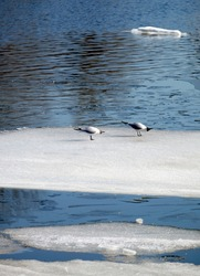 Two wild seagulls sitting on an ice floe floating in cold blue open water in bright sunny spring day vertical view