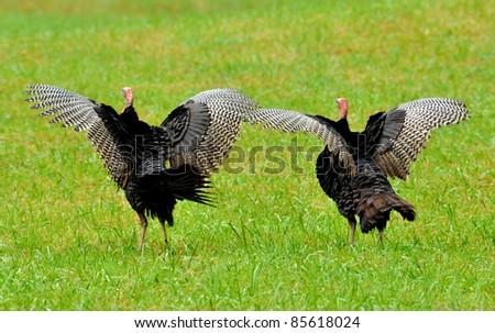 Two wild turkeys spreading their wings - stock photo