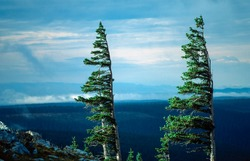 Two wind-directed conifers in the mountains, USA