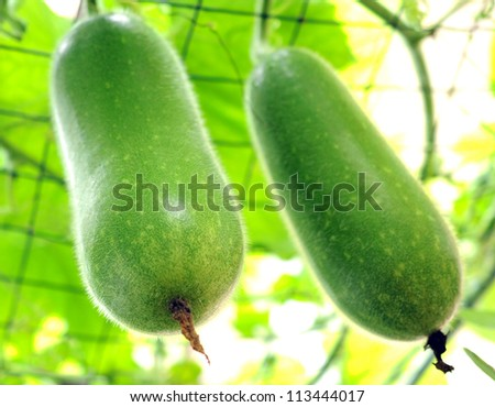 two winter melon on its tree