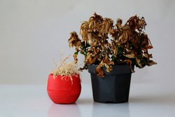 Two withered flowers in vases. Indoor plants wilted in pots . Dried flowers on a gray background.