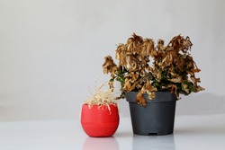 Two withered flowers in vases. Indoor plants wilted in pots . Dry plants in a red vase and a gray pot.  Arid flowers on a gray background.