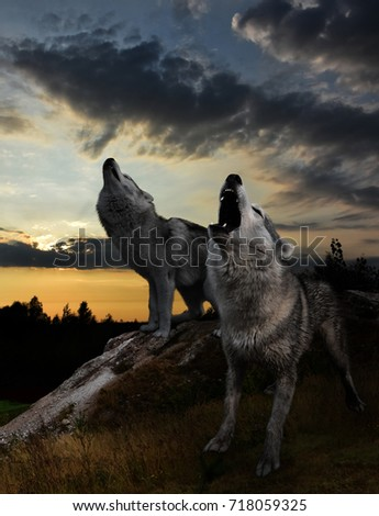 two wolves howling against the sunset #718059325
