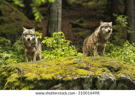 Two wolves on a rocky plateau lie in wait for prey, Canis lupus, wolf, wild wolf. CZECH REPUBLIC. #310016498
