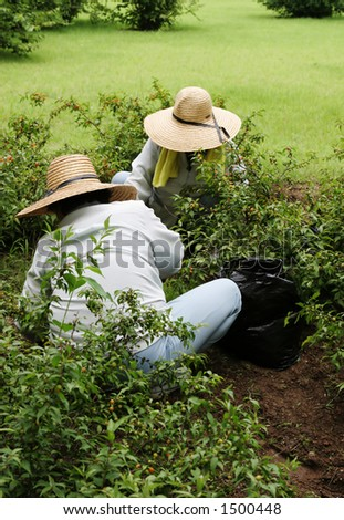 Two women in big straw hats gardening together