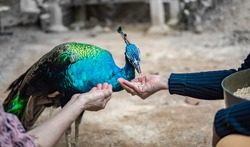 Two Women use her hand-feeding peacocks. there is copy space for writing a text and message