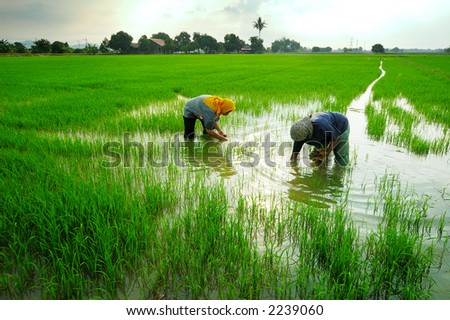 stock photo : Two women working in paddy field