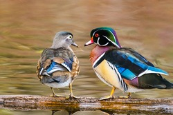 Two wood ducks share a look of love against a pastel background giving the impression that every day could be valentines for these love birds