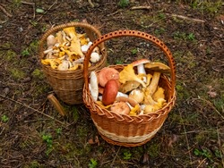 Two wooden baskets full with mushrooms on the forest ground.  Mushroom picking tradition in Eastern Europe and Russia. Knife near the baskets of mushrooms
