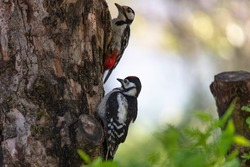 Two woodpeckers. Mother and bird on a tree. (Forest climbing bird with a strong beak).