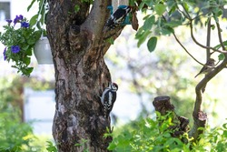 Two woodpeckers. Mother and chick on a tree. Feeding the chick. . (Forest climbing bird with a strong beak).