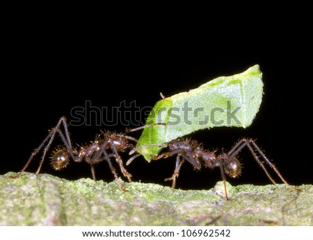 Two worker leaf cutter ants (Atta sp.) in a dilemma