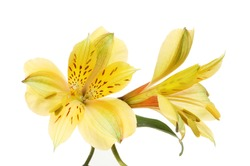 Two yellow Alstroemeria, Peruvian lily, flowers isolated against white