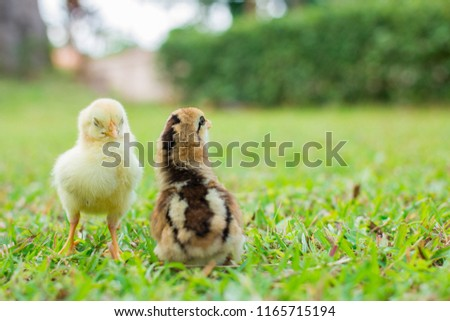 Two yellow and brown chicks is on grass field or lawn on the farm patterns and on natural background for concept design and decoration, Beautiful and adorable little chickens on the floor #1165715194