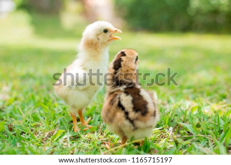 Two yellow and brown chicks is on grass field or lawn on the farm patterns and on natural background for concept design and decoration, Beautiful and adorable little chickens on the floor #1165715197