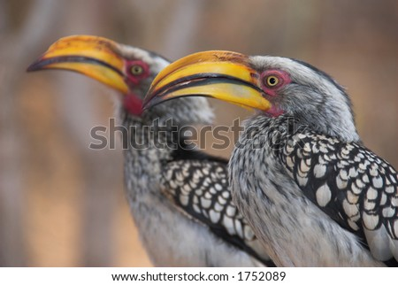 Two yellow-billed hornbills (Tockus leucomelas) waiting for food