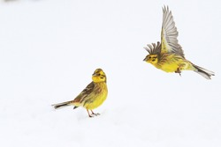 two yellow birds on snow bunting ,wild nature, christmas