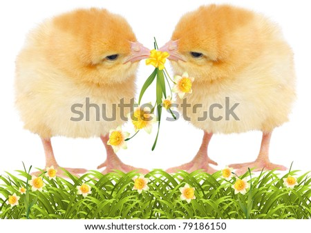 two yellow chickens with flowers. isolated on white