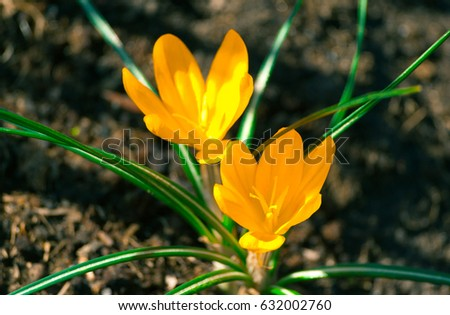 two yellow crocus in full...