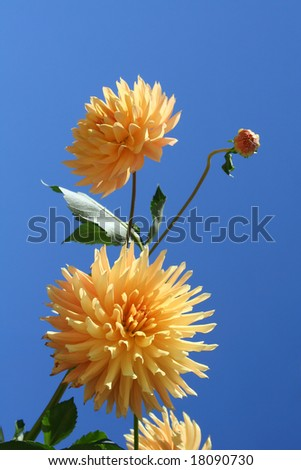 Two yellow dahlias with the bud against blue sky