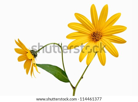 Two yellow daisy on white isolated