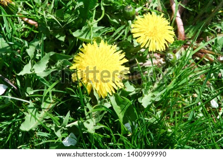 Two yellow dandelion flowers Taraxacum closeup