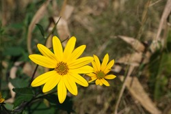 Two yellow flowers (scientific name in Latin,Helianthus Tuberosus or also called Topinambur)also known by other names, German turnip,Canadian sunflower or Jerusalem artichoke, in an uncultivated field