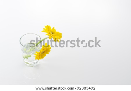Two yellow gerbera in a glass
