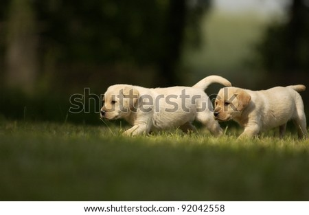 two Yellow Labrador puppies
