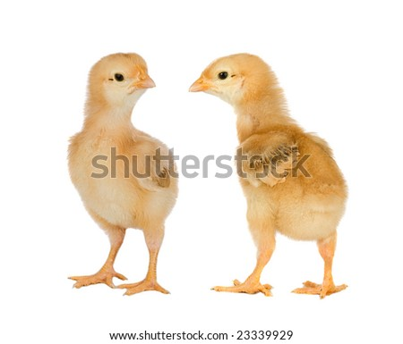 Two yellow little chickens a over white background