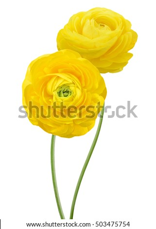 Two yellow persian buttercup flowers (Ranunculus ) isolated on white background