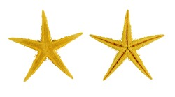 two yellow sea star ,isolated on white background.