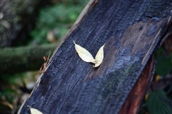Two yellow willow leaves on a charred tree