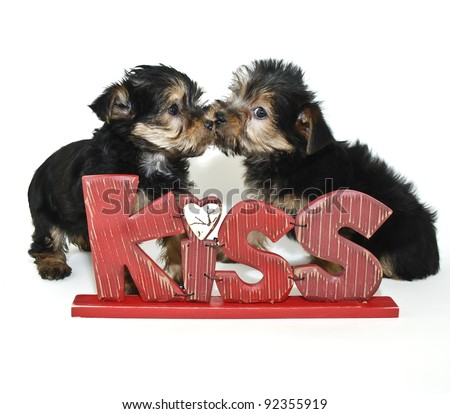Two Yorkie puppies kissing behind a kiss sign on a white background.