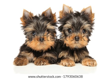 Two Yorkshire Terrier Puppies lie and look at the camera on a white background Stock fotó ©