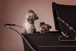 Two Yorkshire Terrier puppies sat in a brown vintage pram with heads tilted looking at camera. Beige and browns.