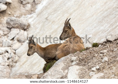 Two young alpine ibex (Capra ibex) resting in the Mountain Rocks