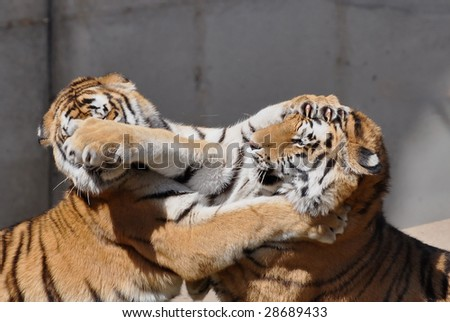 Two young amur tigers playing