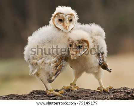Two young barn owls - stock photo