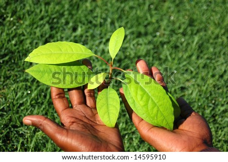 Two young black hands of an African American woman holding the green leaves of an Avocado plant with grass background outdoors in spring