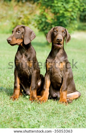 two young brown doberman puppys sitting on the green grass