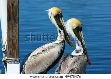two young brown pelicans in profile looking out into the water in florida