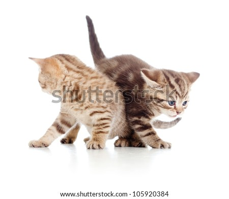 two young cat kittens play together