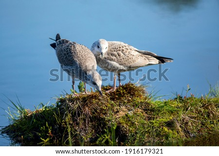 Two young common gulls, Larus canus in juvenile plumage standing on a sod in a bog pond Stock foto ©
