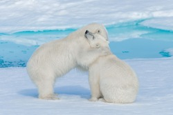 Two young cute wild polar bear cubs hugging on pack ice in Arctic sea