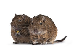 Two young Degu rodents aka Octodon degus, sitting and standing facing front. Looking towards camera.  Isolated on a white background.